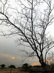 If you truly love nature ... (Anuradha Nautiyal) Tags: silhouette tree singletree dormancy treewithoutleaves sunset greysky clouds sky flora iphone x iphonex phone photography phonephotography bengaluru bangalore karnataka india nammaoorubengaluru