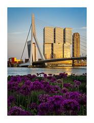Kop van Zuid Rotterdam in spring (Rob Schop) Tags: erasmusbrug kopvanzuid flowers foreground goldenhour light rotterdam focusstack lrcc pscc boompjes maas derotterdam purple composition sigma30mm14 nofilters sonya6000 inspiration spring