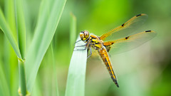 Four-spotted Chaser (Max Thompson Photography) Tags: nature wildlife dragonfly four spotted chaser dragon wild bokeh monochrome black white ham wall rspb