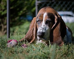 """Can't a Dog Just Relax?"" (lancekingphoto) Tags: basset hound dog morning dogtoy grass fujifilmxt2 fujinon50mmf2"
