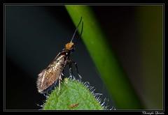 Micropterix calthella (cquintin) Tags: arthropoda lepidoptera micropterigidae calthella micropterix macroinsectes