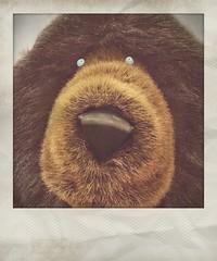 "Flickr, ""Please Bear With Me!"" (steveartist) Tags: instantapp fakepolaroids bears bigfuzzybears largetoybears stevefrenkel titlefxapp snapseed"