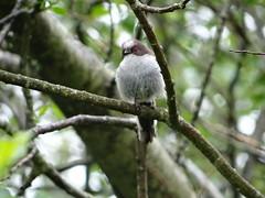 Baby Long tailed tit, in the rain (Ian Robin Jackson) Tags: longtailedtit scotland birds riverside aberdeenshire fledgling wildlife nature