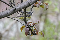 Spring Visit (A.Joseph Images) Tags: blueheadedvireo vireo bird songbird outdoor oiseux wildlife nature nikkor200500mmedf56vr nikon trees grey yellow white brown red green montreal quebec canada