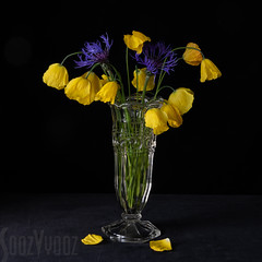 Welsh Poppies and Cornflowers (Sue_Hutton) Tags: centauri may2019 spring welshpoppies flowerphotography flowers no35 stilllife yellowpoppies