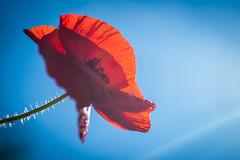 Red light (Lilian Mérico) Tags: coquelicot blue bleu red rouge fleur flower macro