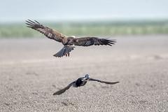 Bruine kiekendief (Patrick Jansen ( Oetmeij )) Tags: 2019 bird birdofprey birdphotography bruinekiekendief circusaeruginosus eend marshharrier nature roofvogels vogelfotografie