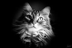 Lassitude. (LACPIXEL) Tags: lassitude cansancio desánimo weariness cat chat gato pet mascota animal retrato portrait noirbl blackwhite nikon nikonfr flickr lacpixel lumièrenaturelle luznatural naturallight