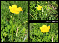 Buttercup (macro) (Stephenie DeKouadio) Tags: canon photography outdoor flower flowers buttercup buttercups macro macrophotography yellow green colorful beautiful beauty
