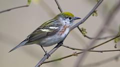 Chestnut-sided Warbler  0656 (Paul McGoveran) Tags: bird nature nikon500mmf4 nikond850 ontario peleenationalpark warbler