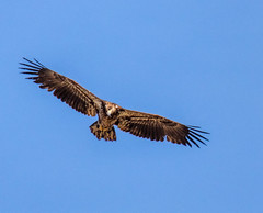 Fly Like an Eagle (edmason88) Tags: baldeagle juvenile eaglesnest tamron150600 strathconacounty alberta canada