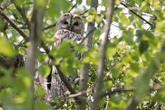 Tawny Owl - Waldkauz (rengawfalo) Tags: eule owl brownowl tawnyowl strixaluco vogel bird animal wildlife nature natur kauz vögel waldkauz tree birder birding outdoor wood forest