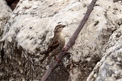 Passera lagia -  Petronia petronia (francescociccotti1) Tags: uccelli passeri nstura
