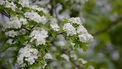 137 Hawthorn blossom (Conanetta) Tags: