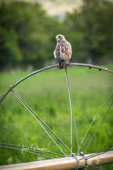 Point of View (JGemplerPhotography) Tags: hawk wheelline irrigation bird birdsofprey