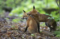 Mama fox cleaning kits ears (Jim Cumming) Tags: redfox fox spring nature wildlife forest canada
