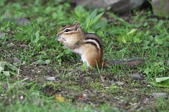 Deep In Thought (Diane Marshman) Tags: chipmunk small rodent black brown tan white fur back stripes long tail spring pa pennsylvania nature wildlife grass