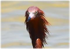 North Shore Park Beach - St Petersburg, Florida (lagergrenjan) Tags: north shore park beach st petersburg florida bird reddish egret