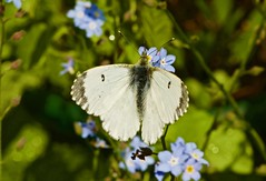 Female Orange Tip butterfly (michael.gittos) Tags: orangetip butterfly duxford forgetmenot pentax insect macro nature wildlife