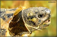 Χελώνα !!! (Spiros Tsoukias) Tags: χελώνα χελώνεσ ερπετά καβούκια χλωρίδα πανίδα hellas macedonia thessaloniki greece axiosdelta national park flamingo ελλάδα μακεδονία θεσσαλονίκη καλοχώρι γαλλικόσ αξιόσ λουδίασ αλιάκμονασ εθνικόπάρκο δέλτα αξιού υδρόβιαπτηνά φλαμίνγκο φοινικόπτερα ερωδιοί αργυροπελεκάνοι αργυροτσικνιάδεσ λευκοτσικνιάδεσ βαρβάρεσ γεράκια πάπιεσ φαλαρίδεσ κύκνοσ κύκνοι πελεκάνοσ κορμοράνοσ στρειδοφαγοσ κοκκινοσκέλησ σταχτοτσικνιάσ ποταμογλάρονα χουλιαρομύτα γλάροσ αβοκέτα καλαμοκανάσ λίμνεσ φύση ποτάμια θάλασσα βουνά πεδιάδεσ ηλιοβασίλεμα ανατολήηλίου πουλιά ζώα lakes nature rivers sea mountains plains sunset sunrise birds animals