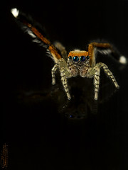 Salticidae (Dany-de-Nice) Tags: macro nature animal arachnide arachnid arachnida araignée spider saltique salticidae reflet reflection 6d 100mm