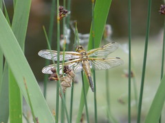 Four Spotted Chaser Libellula Quadrimaculata (simonjoseph1) Tags: four spotted chaser libellula quadrimaculata dragonfly