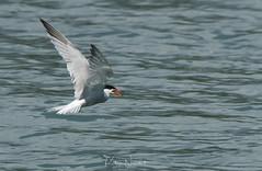 Sterne pierregarin (katia Nicolet) Tags: oiseau voltige nikon d500 tamron 150600 g2