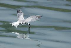 Sterne pierregarin (katia Nicolet) Tags: oiseau voltige nikon d500 tamron g2
