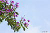 SHF_7573_Lagerstroemia speciosa (Tuan Râu) Tags: 1dmarkiii 14mm 100mm 135mm 1d 1dx 2470mm 2019 50mm 70200mm canon canon1d canoneos1dmarkiii canoneos1dx lagerstroemiaspeciosa flowers flora floral color blue pink blooming branch leaf tuanrau tuan râu httpswwwfacebookcomrautuan71