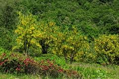 Piemonte - Biellese, Vallecervo: fioritura di maggiociondoli alle Desate (mariagraziaschiapparelli) Tags: maggiociondoli montagna piemonte biellese vallecervo desate fioritura allegrisinasceosidiventa
