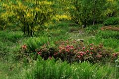 Piemonte - Biellese, Vallecervo fioritura di maggiociondoli alle Desate (mariagraziaschiapparelli) Tags: piemonte biellese vallecervo montagna maggiociondoli desate fioritura allegrisinasceosidiventa