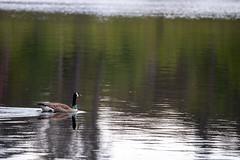 Float (Photography by Martijn Aalbers) Tags: oisterwijksebossen forest bos natuur nature spring lente mei may noordbrabant the netherlands nederland canoneos77d ef70200mmf4lisusm wwwgevoeligeplatennl