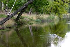 Ducks x 3 (Photography by Martijn Aalbers) Tags: oisterwijksebossen forest bos natuur nature spring lente mei may noordbrabant the netherlands nederland canoneos77d ef70200mmf4lisusm wwwgevoeligeplatennl
