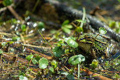 Friendly frog (Photography by Martijn Aalbers) Tags: oisterwijksebossen forest bos natuur nature spring lente mei may noordbrabant the netherlands nederland canoneos77d ef70200mmf4lisusm wwwgevoeligeplatennl