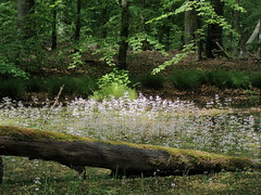 Nørreskoven (Landanna) Tags: nørreskoven als sønderjylland zuidjutland denmark denemarken dänemark danmark spring lente forår nature natur natuur
