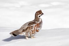 Pyy - Tetrastes bonasia (mustohe) Tags: 2013 finland pyy tetrastesbonasia lintu bird canon sigma20xexdgapoteleconverter sigma120300mmf28apoexdgos canon7d inkoo kopparnäs talvi winter lumi snow
