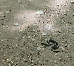 and we came across Mr. Snake ... :-)) (Landanna) Tags: snake nørreskoven als sønderjylland zuidjutland denmark denemarken danmark dänemark nature natur natuur slang slange