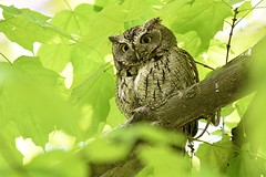 Eastern Screech Owl (kevinwg) Tags: eastern screech owl easternscreechowl tree branch leaves