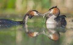 Breakfest of GCG chicks (mirosławkról) Tags: wild wildlife animal bird water pond lake sunrise grebe 150600 nikonnaturephotography nature poland orange perkoz great crested chicks