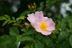 Rosa Blüte (Lutz Blohm) Tags: blüten buschblüte bokeh blumen naturfoto natur sonyfe24105mmf4goss sonyalpha7aiii