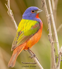 Painted Bunting (Lindell Dillon) Tags: paintedbunting birds birding neotropical nature oklahoma wildoklahoma