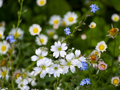 Field chickweed, daisies and forget-me-nots (Raoul Pop) Tags: bloom blossom blue caryophyllaceae cerastiumarvense color daisy exposure fieldchickweed flower forgetmenot garden home macro medias mouseearchickweed nature outdoors plant spring starrychickweed time transilvania vegetal vegetation white