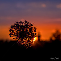 Sunset (Magda Banach) Tags: clouds colors evening flora flower giantonion nature orange outdoor outside plants poland reflection silhouette sky spring sun sunset yellow zachódsłońca