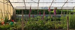 green world (Rosmarie Voegtli) Tags: gewächshaus dornach goetheanum garden work arbeit gardening greenhouse odc ourdailychallenge takingcareofbusiness