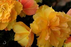 Bégonia/Begonia (bd168) Tags: couleurslumineuses luminouscolours priintemps spring pottedplants plantesenpots annuals annuelles begonia bégonia orange jaune yellow red rouge bokeh fujifilmxt10 xf90mmf2rlmwr