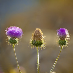 Young, Old, and Middle-aged (East of 29) Tags: desert thistle lavender newmexicothistle flower joshuatreenationalpark wildflower sliderssunday