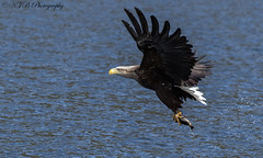 White Tailed Eagle (KJB Photography.) Tags: white tailed sea eagle loch mull scotland scottish charters