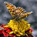 Papillon_6666