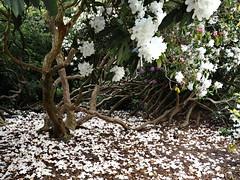 Fallen petals (oneofmanybills) Tags: petals rhodedendrum trees templenewsham leeds white flowers blossoms olympus