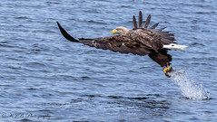 White-Tailed Eagle (KJB Photography.) Tags: tailed sea eagle mull scotland scottish loch charters white